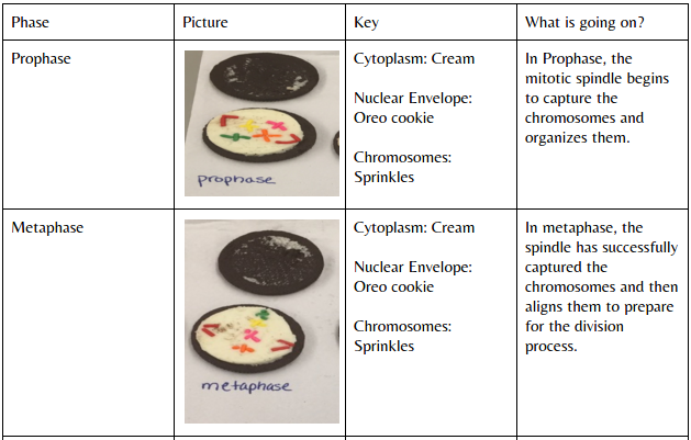 an analysis of the mitosis stages and the cell replication proccess Mitosis (along with the step of cytokinesis) is the process of how a eukaryotic somatic cell, or body cell, divides into two identical diploid cells meiosis is a different type of cell division that begins with one cell that has the proper number of chromosomes and ends with four cells that have half the normal number of chromosomes (haploid .